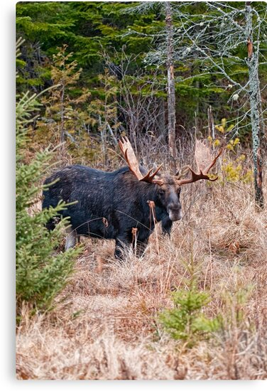 Bull Moose - Algonquin Park, Ontario by Michael Cummings