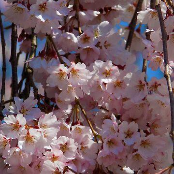 Cherry blossom by Sasya