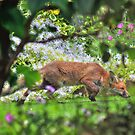 Fox Cub in my Garden by Vicki Spindler (VHS Photography)