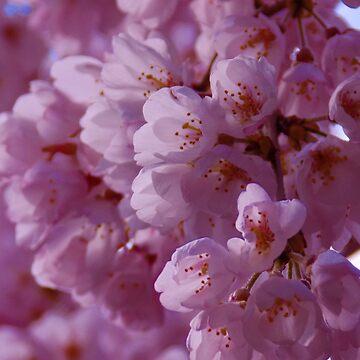 Cherry blossom 2  by Sasya