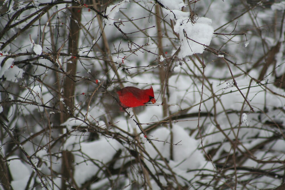 Cardinal In the Snow by declown