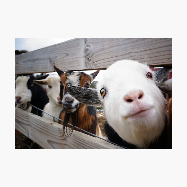 Friendly Goats Photographic Print