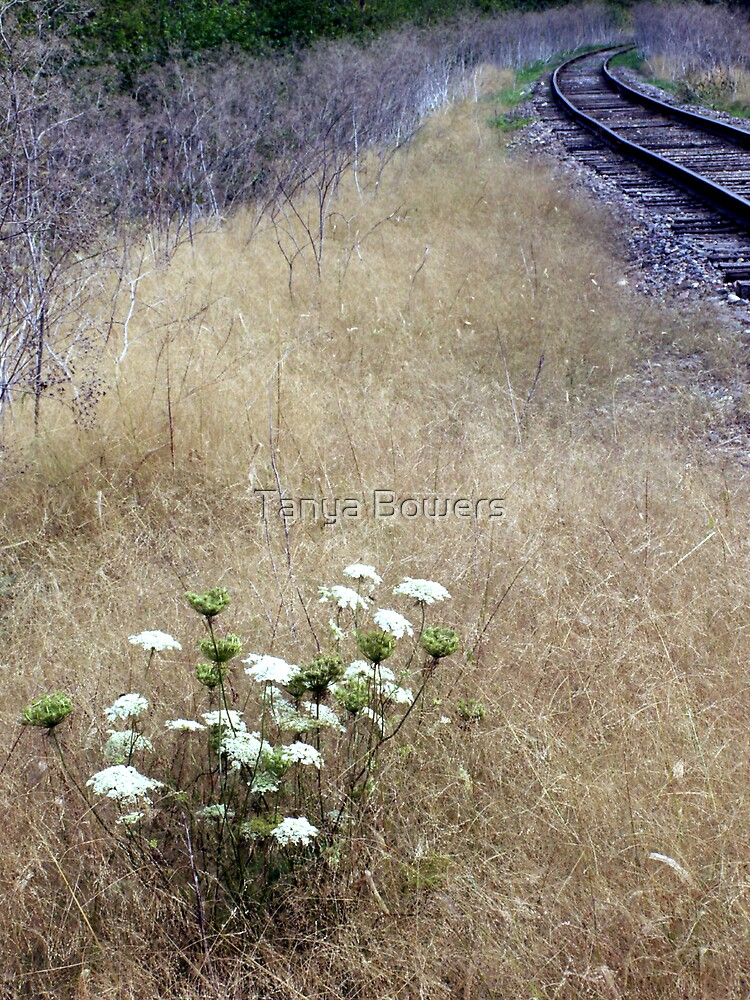 Queen Anne's Lace  by Tanya Bowers