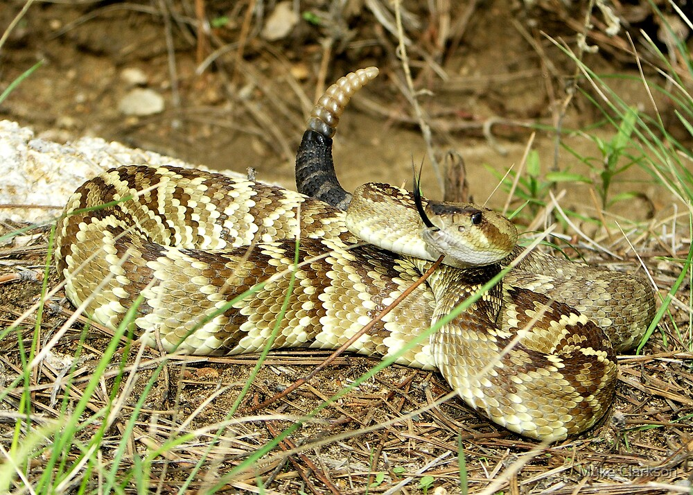 Black Tail Rattlesnake by Myke Clarkson