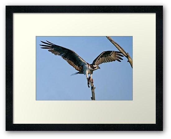 Osprey - Ottawa, Ontario by Michael Cummings