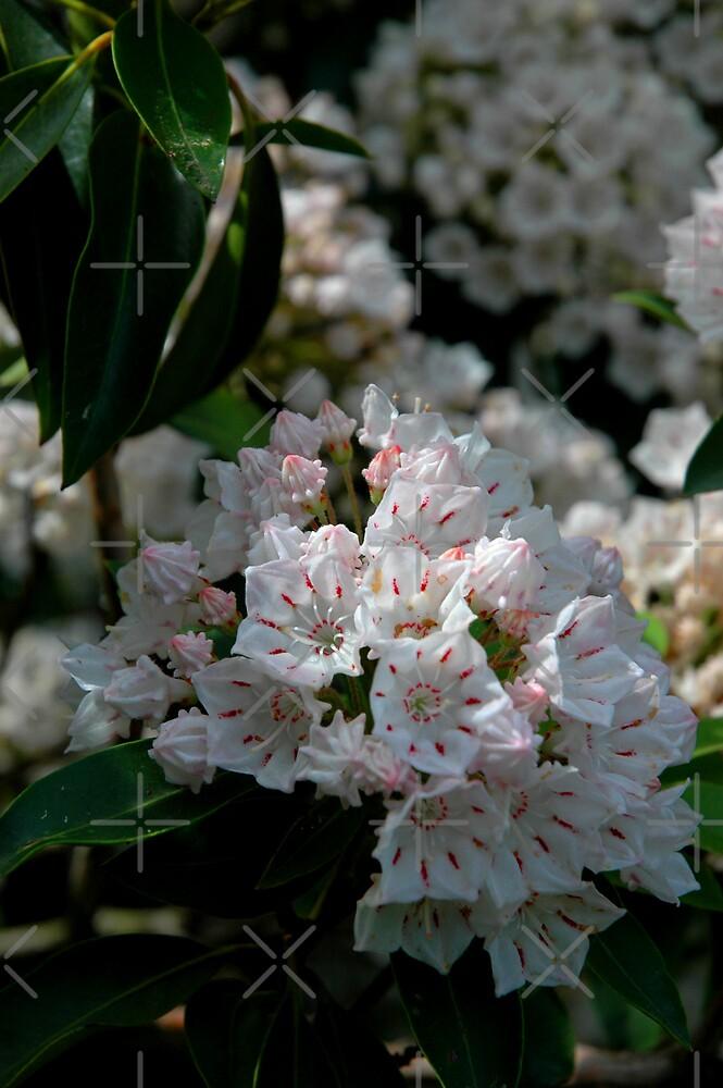 Mountain Laurel by christiane