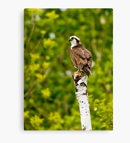 Osprey on Tree - Ottawa, Ontario Canvas Print