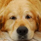 Lazy Golden by Shane Shaw