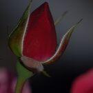 Rosebud by MikeThomas