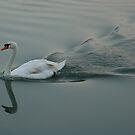 Swan by MikeThomas