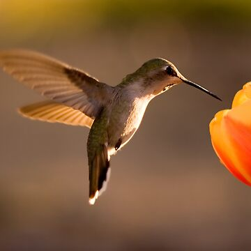 Sun Setting on a Hummer & Tulip by djm4