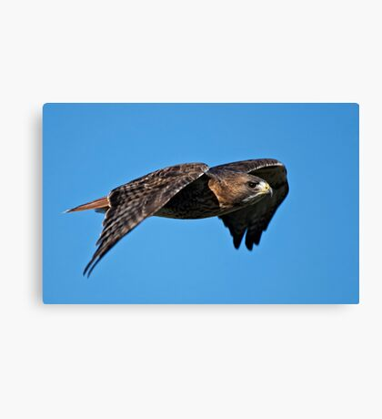 Red-tailed Hawk - Amherst Island, Ontario Canvas Print