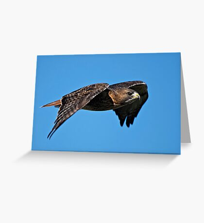 Red-tailed Hawk - Amherst Island, Ontario Greeting Card