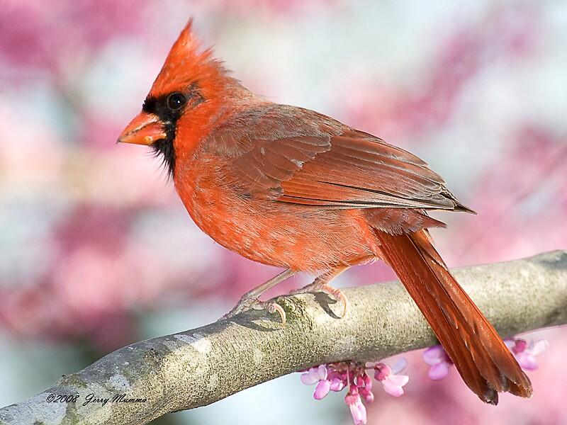 Cardinal Male by Jerry  Mumma