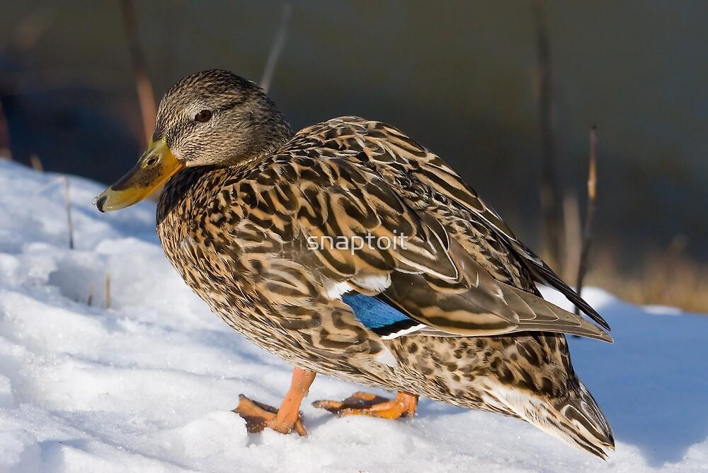 Female Duck by snaptoit