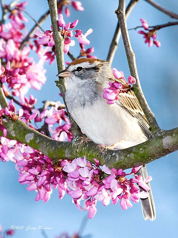 Sparrow by Jerry  Mumma