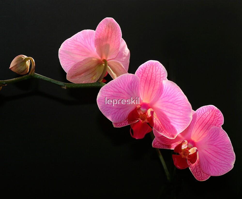 Phalaenopsis Orchid by lepreskil