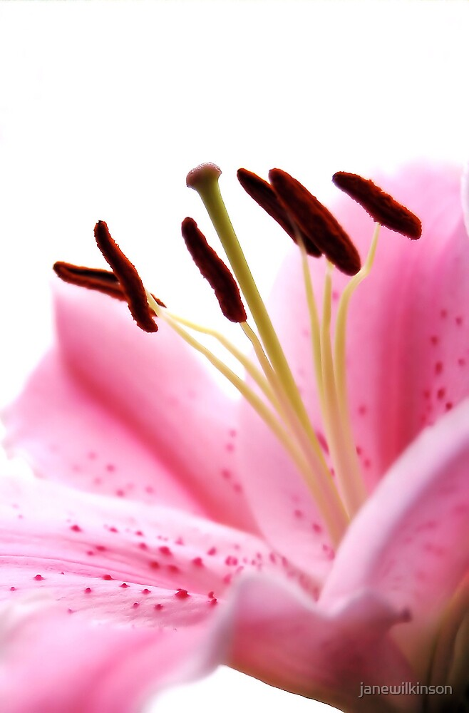 Lily2 by janewilkinson