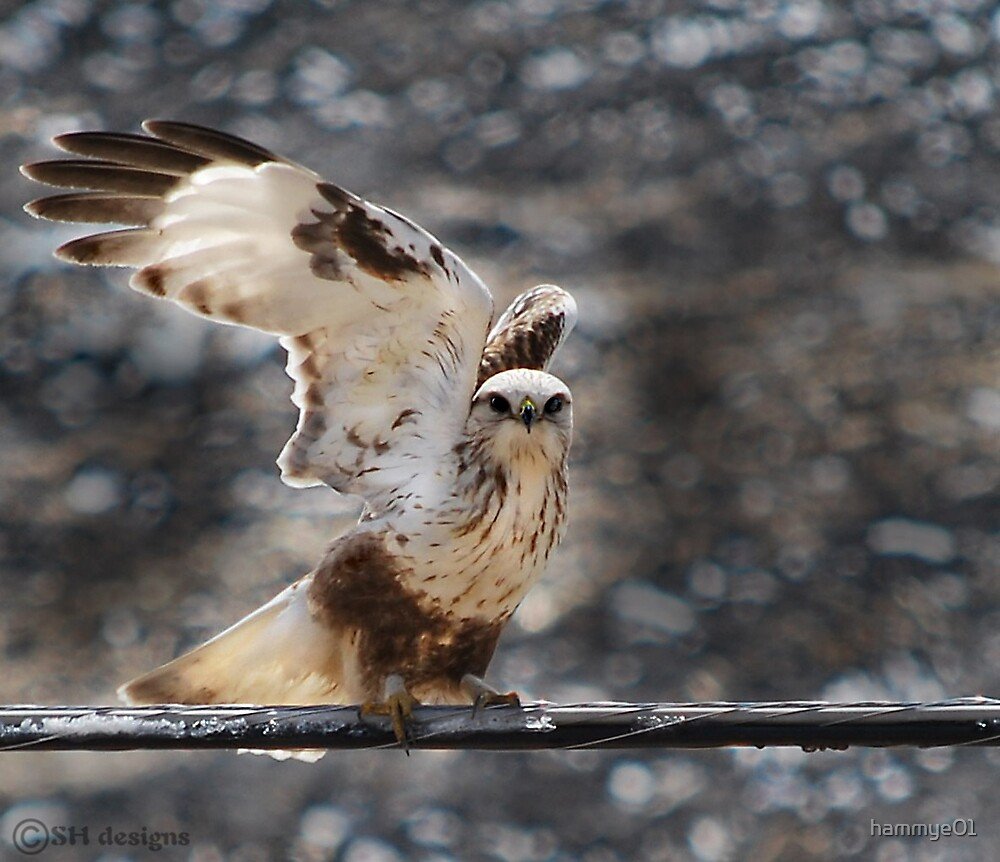 Rough-Legged Hawk by hammye01