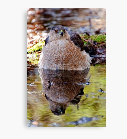 Coopers Hawk - Ottawa, Ontario Canvas Print