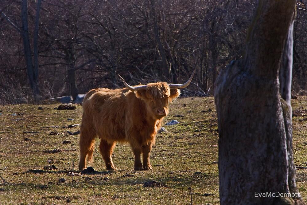 Highland Cattle in Concord Massachusetts by EvaMcDermott