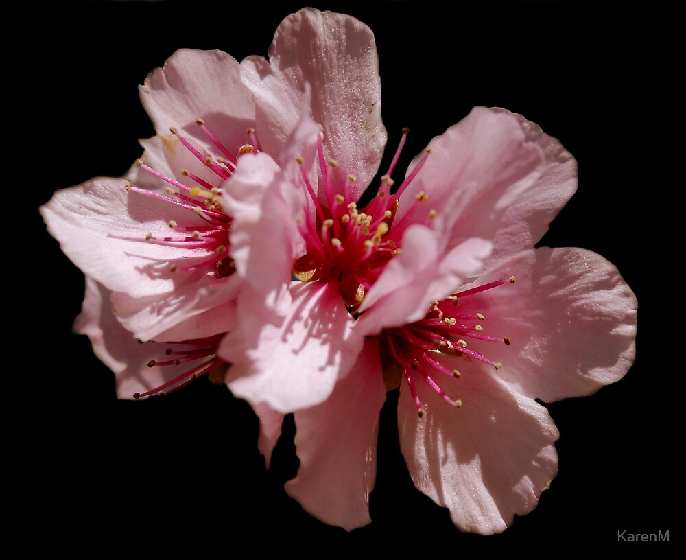 Pink Blossom by KarenM