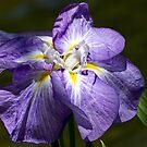 Japanese iris in the spotlight by Celeste Mookherjee