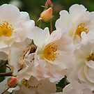 Grossman Rose by Catherine Davis