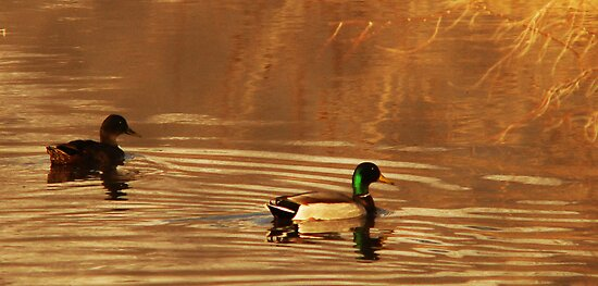 Mallard Drake & Hen - Golden Hour by Ryan Houston