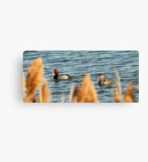 Redhead Drake & Hen - Utah Waterfowl Canvas Print