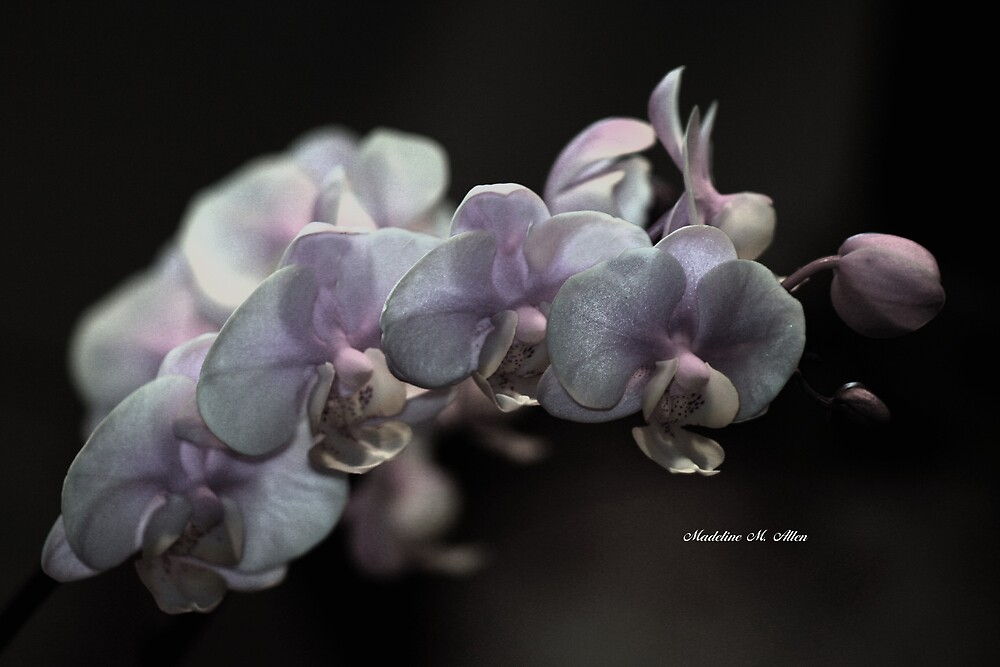ORCHID BEAUTIES  by Madeline M  Allen