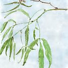 Rhus lancea leaves - Black Karee - Botanical illustration by Maree Clarkson