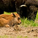 Bison And Calf by Michael Cummings