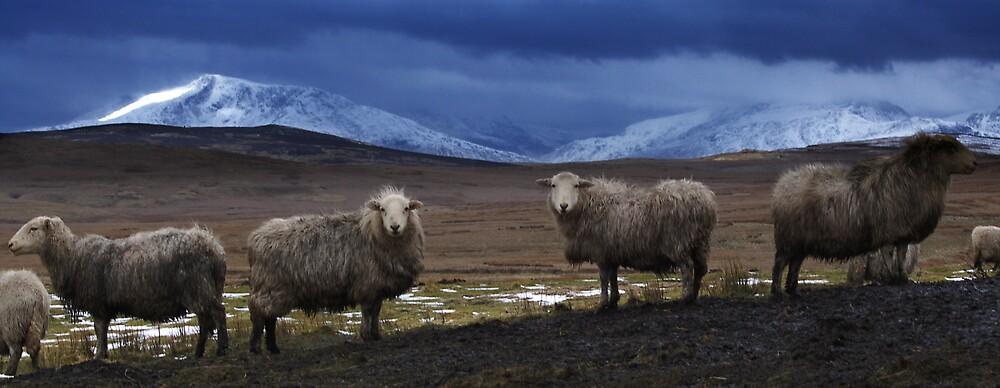 Sheep at Llyn Aled by Julian MacDonald