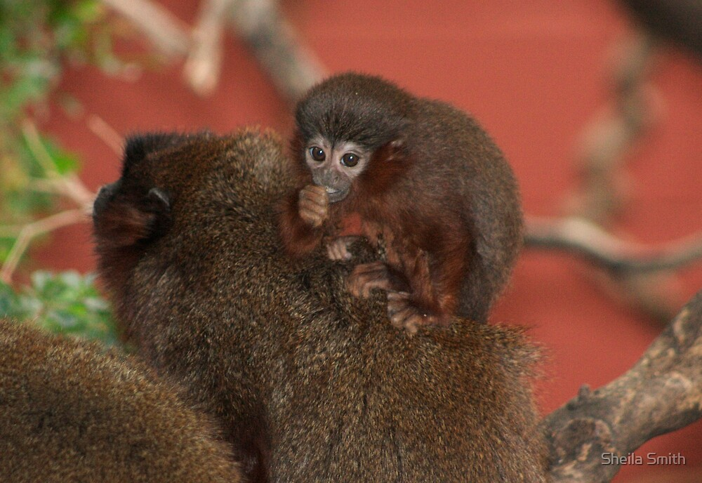 Baby Red Titi Monkey with parents. by Sheila Smith
