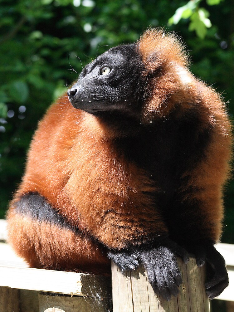Red Ruffed Lemur by Marc Johnson
