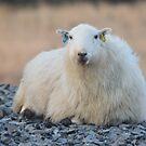 Welsh Sheep by eleean0r