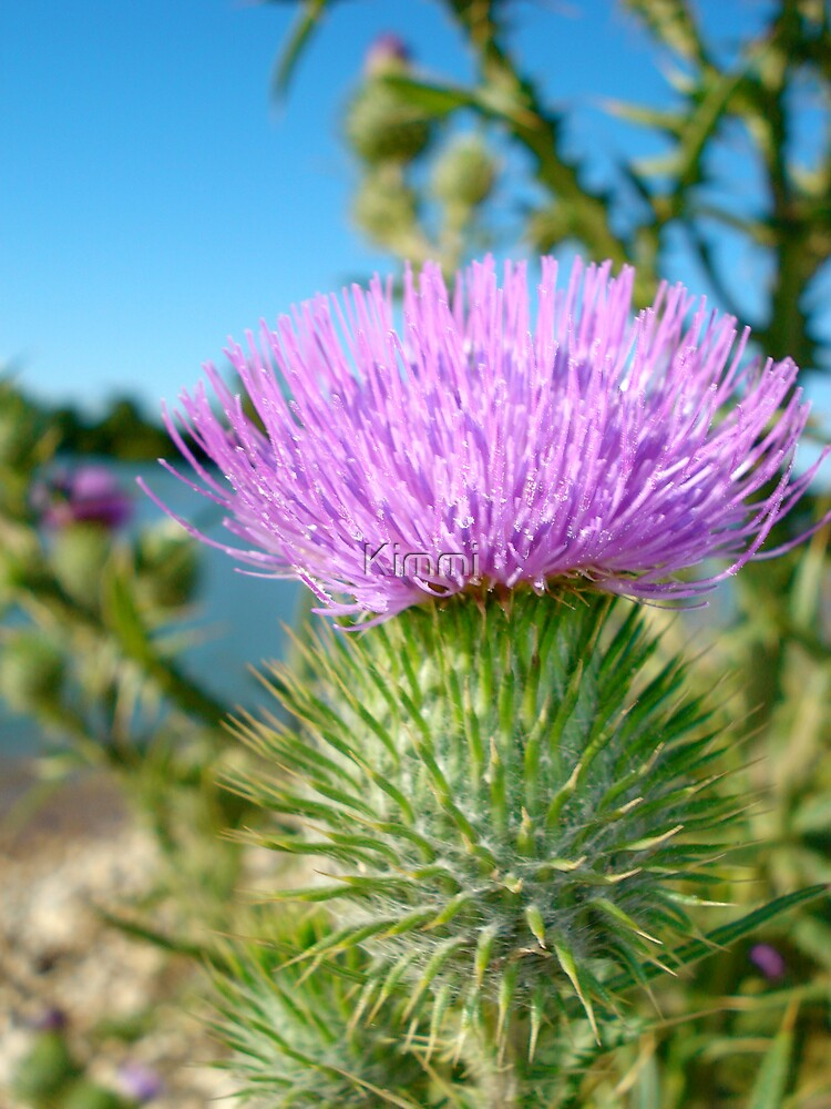 Thistle by Kimmi