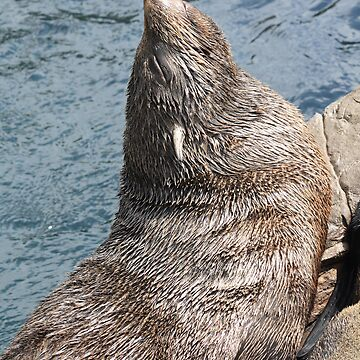 South American Fur Seal by MrBanana