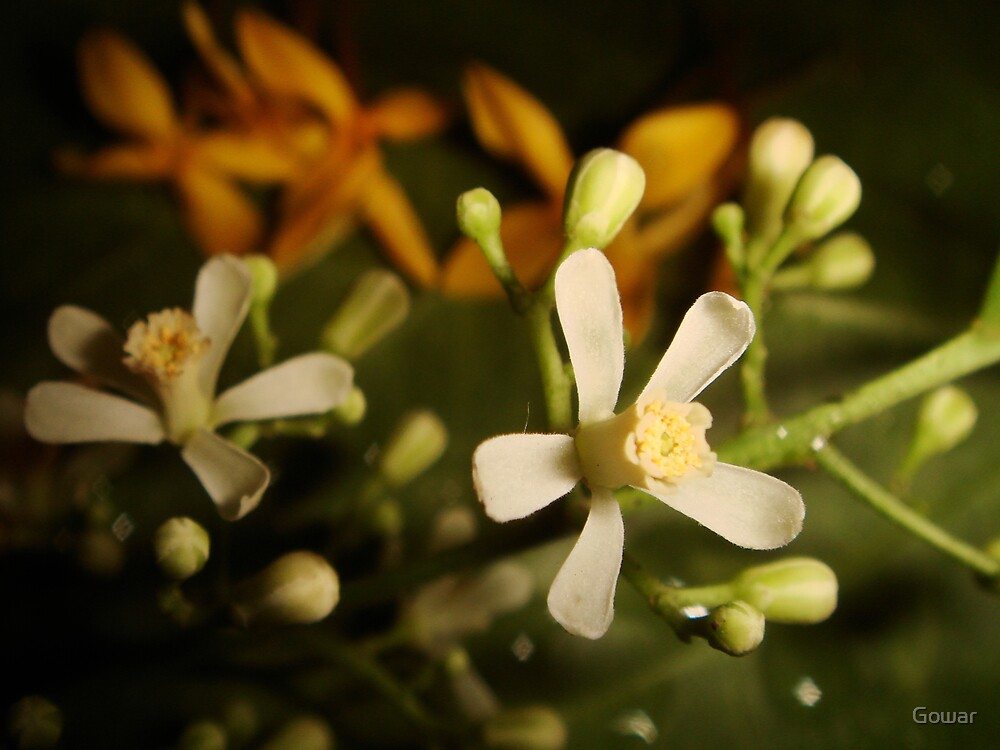 Neem Flower by Gowar