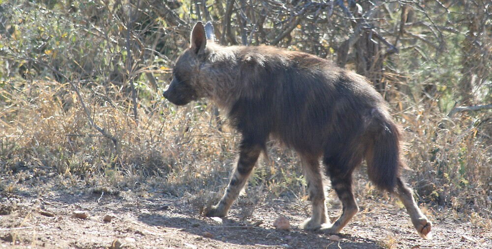 Sneaking off - Brown Hyena by Paul Lindenberg