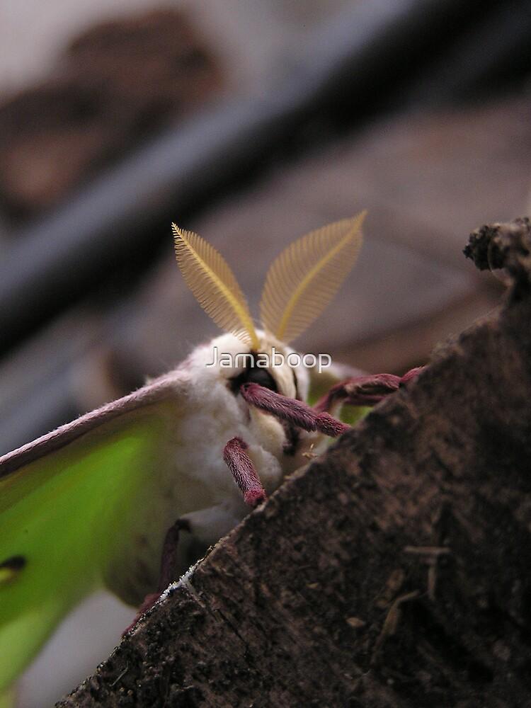 Luna Moth again by Jamaboop