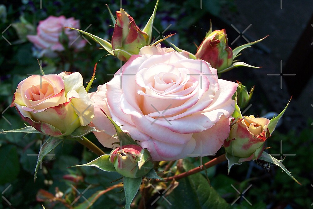 Delicate Passion .. pink roses by LoneAngel
