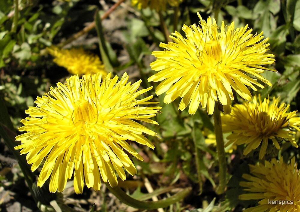 Dandelions by kenspics