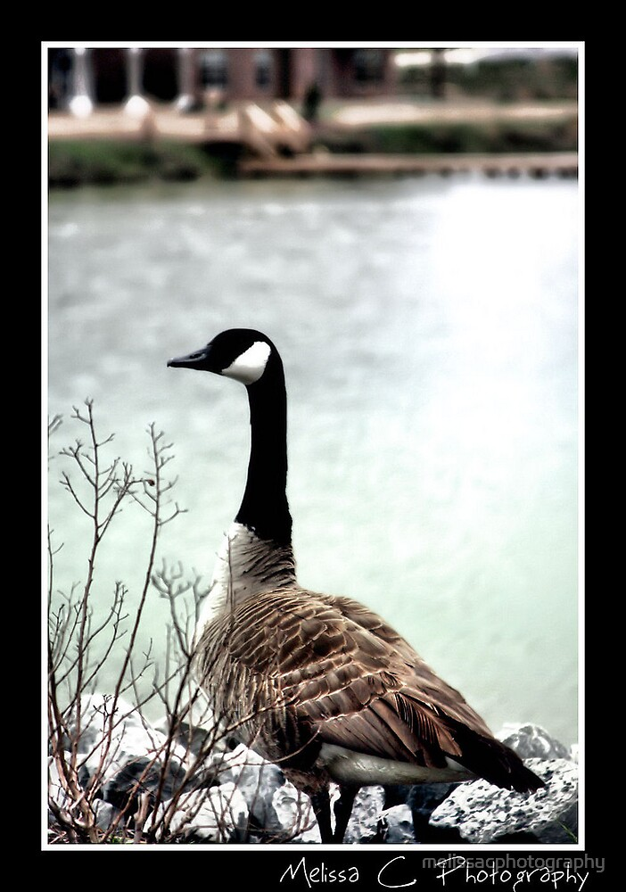 Goose by melissacphotography