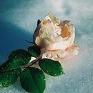 Frozen rose by julie08