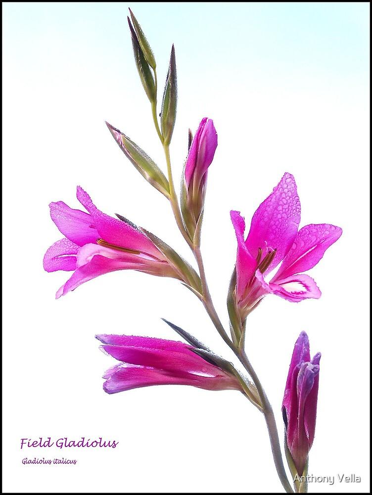 Field Gladiolus by Anthony Vella