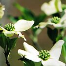 Dogwood by Suni Pruett