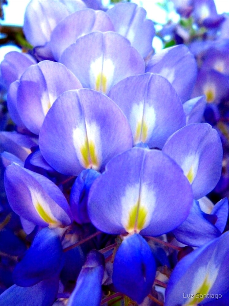 """""""Fan Flower"""" by Luz Santiago"""