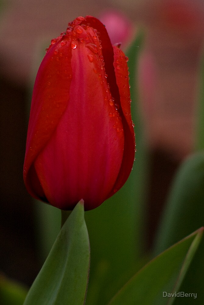 Red Tulip by DavidBerry